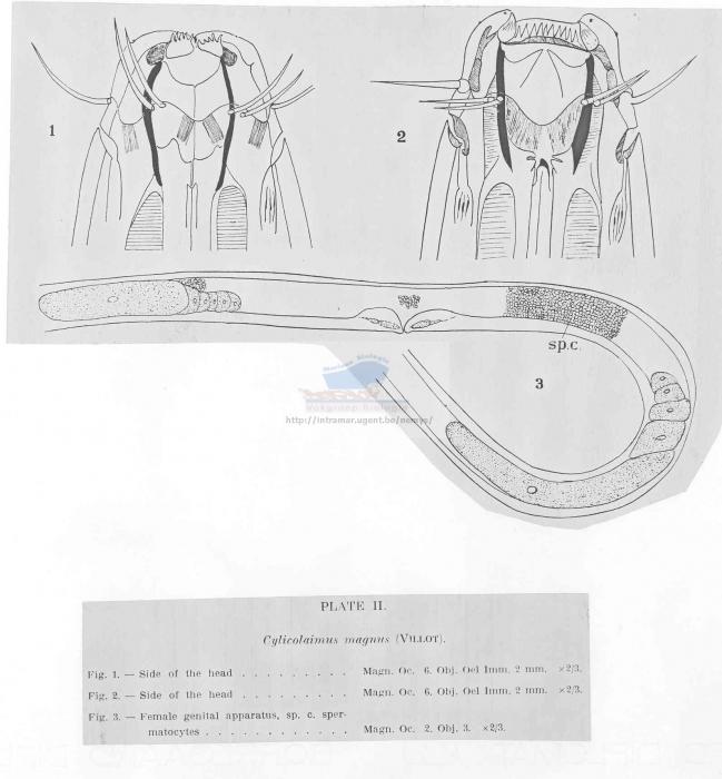 Cylicolaimus magnus