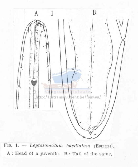 Leptosomatum bacillatum