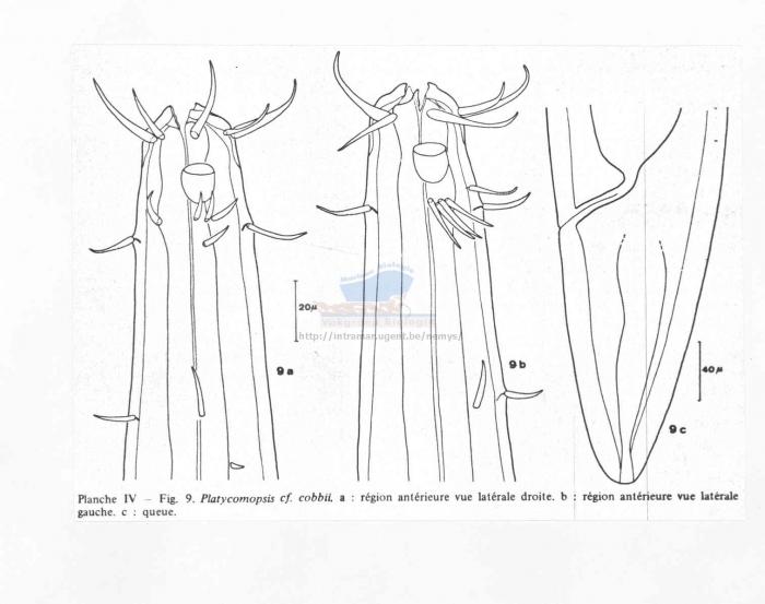 Platycomopsis cobbii