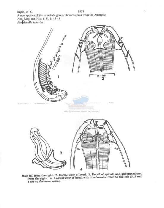 Pseudocella tabarini