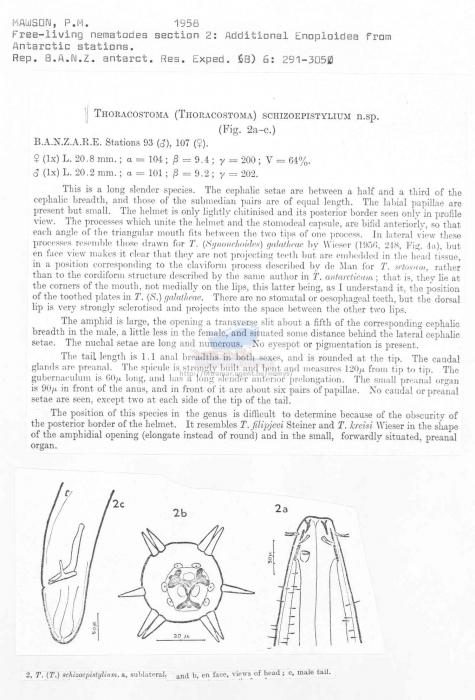 Thoracostoma schizoepistylium