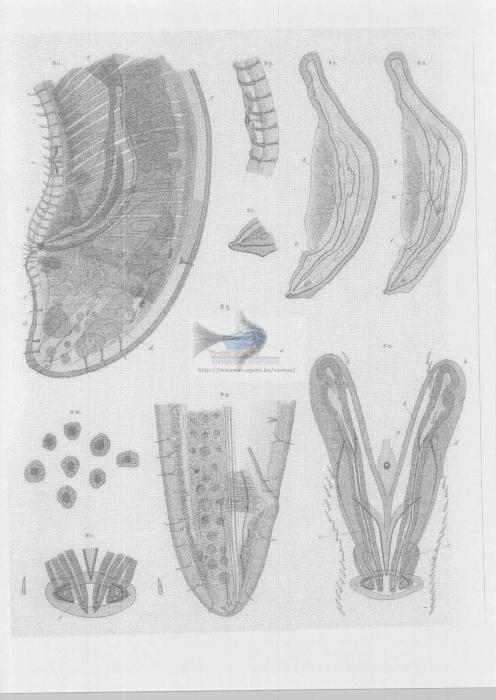 Thoracostoma setosum
