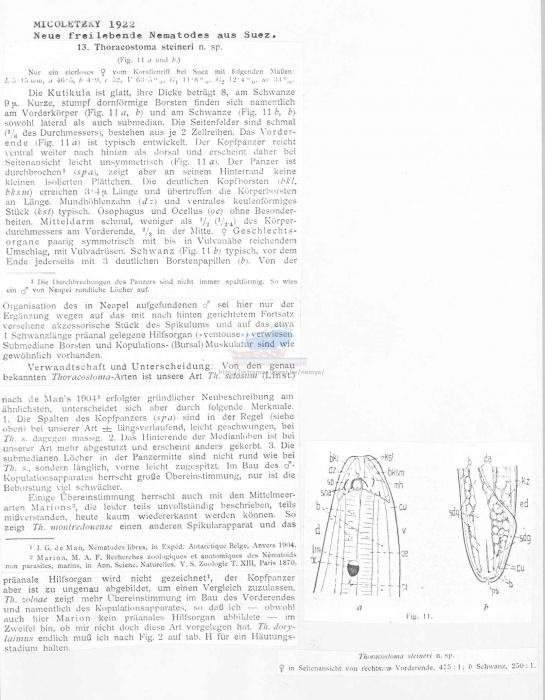 Thoracostoma steineri