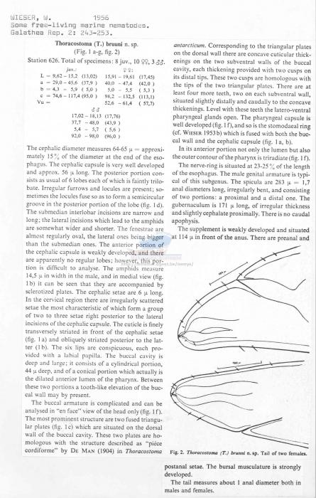Thoracostoma bruuni