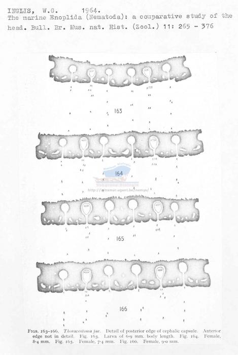 Thoracostoma jae