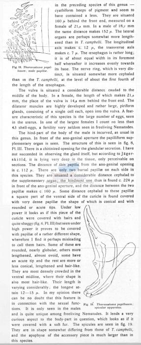Thoracostoma papillosum