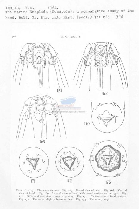 Thoracostoma zeae