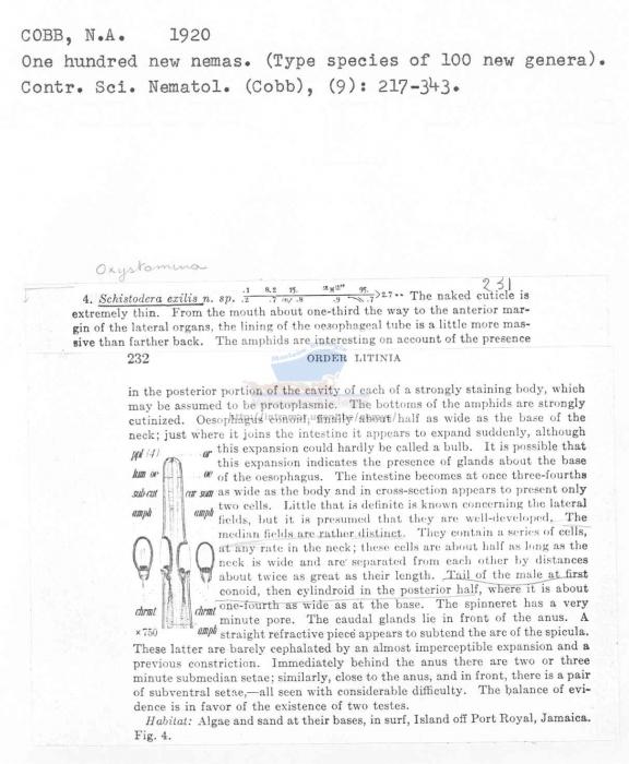Oxystomina exilis