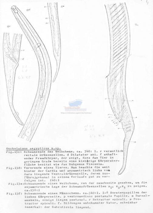 Oncholaimus aegypticus