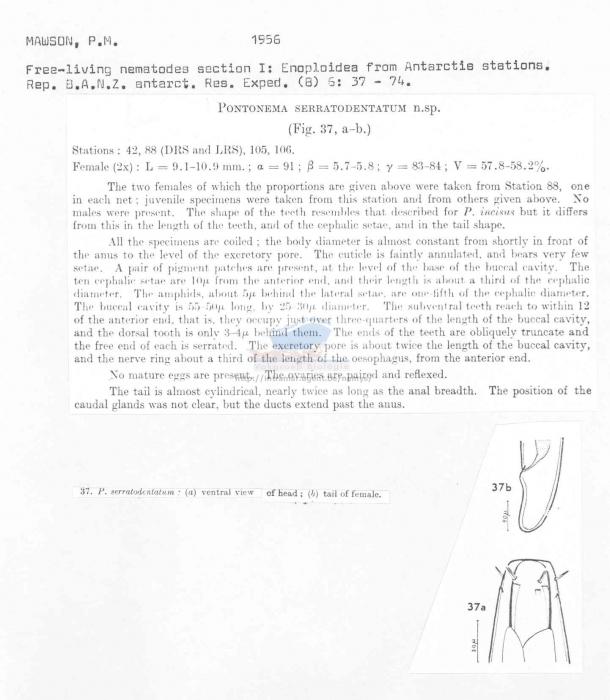 Pontonema serratodentatum