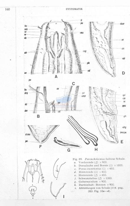 Pontonema balticum