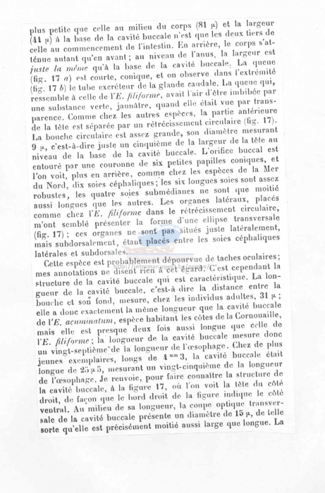 Eurystomina terricola