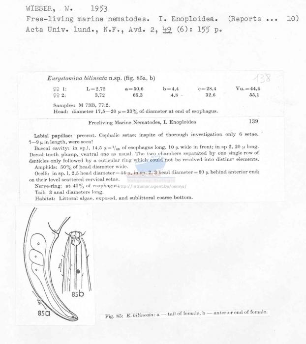 Eurystomina bilineata