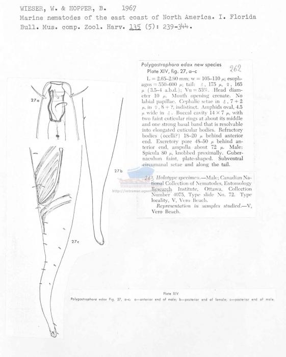 Polygastrophora edax