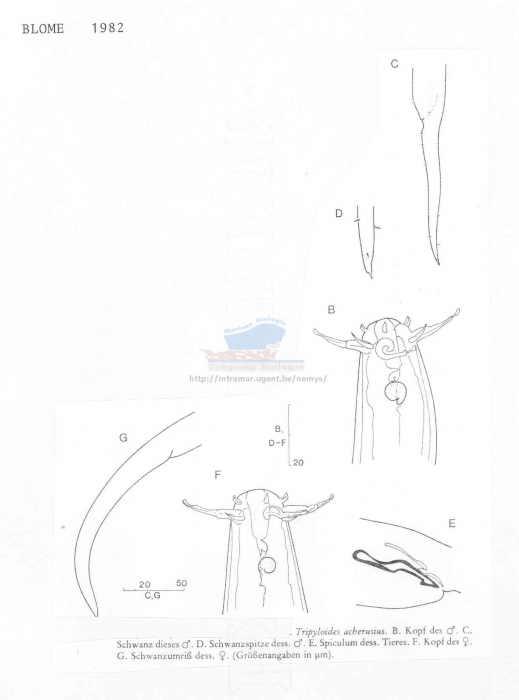 Tripyloides acherusius