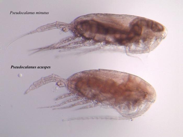 Pseudocalanus acuspes and Pseudocalanus minutus