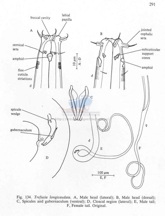 Trefusia longicauda