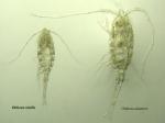 Oithona similis and Oithona atlantica