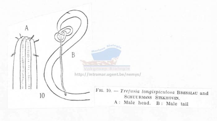 Trefusia filicauda