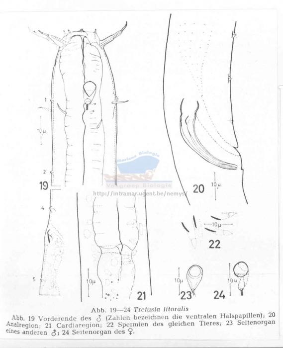 Trefusia litoralis