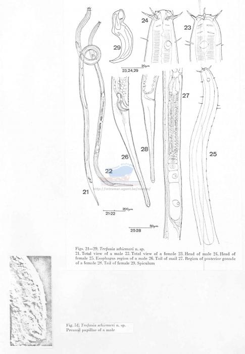 Trefusia schiemeri