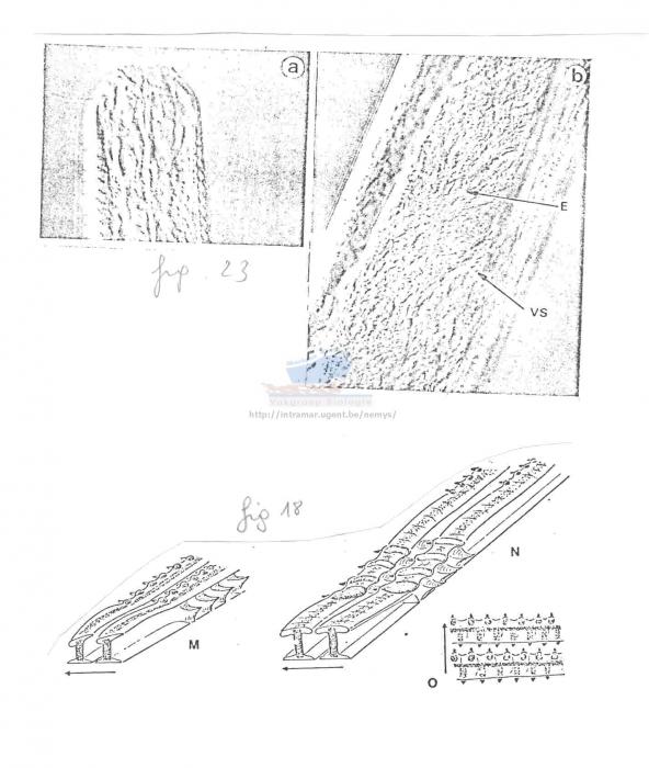 Chromadorella filiformis