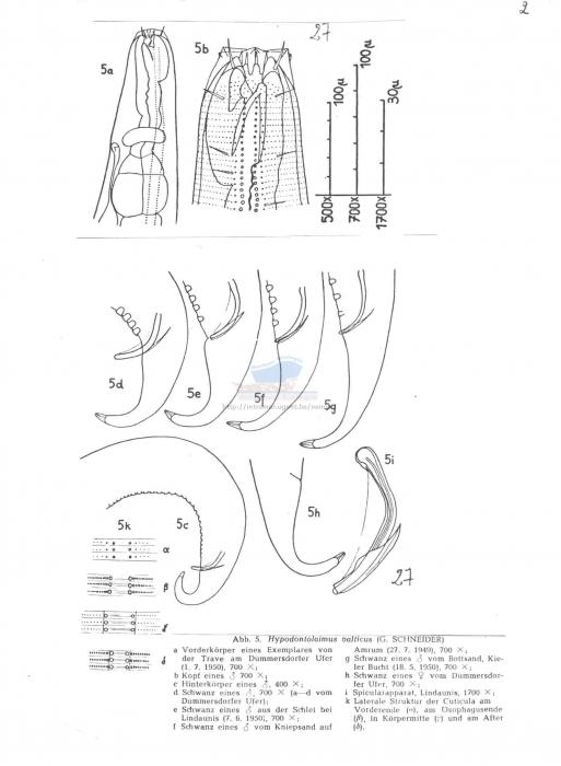 Hypodontolaimus balticus