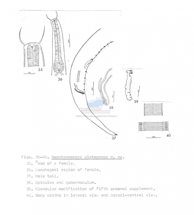 Neochromadora alatocorpa