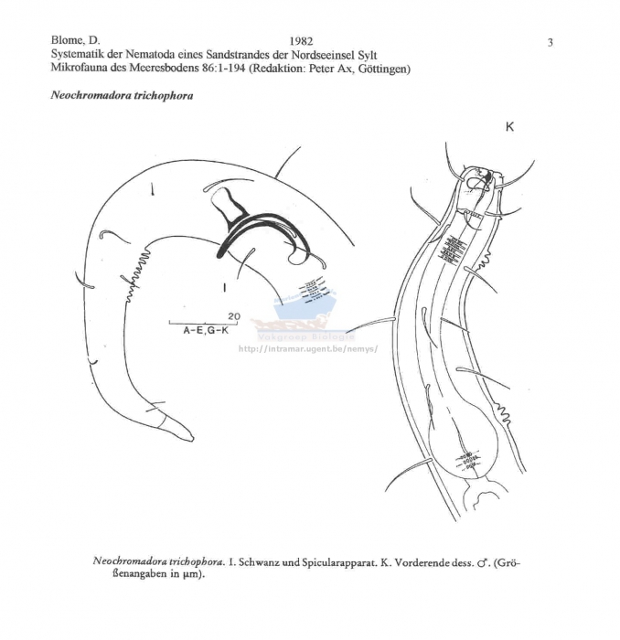 Neochromadora trichophora