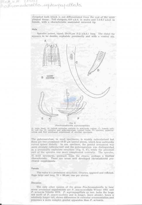Prochromadorella septempapillata