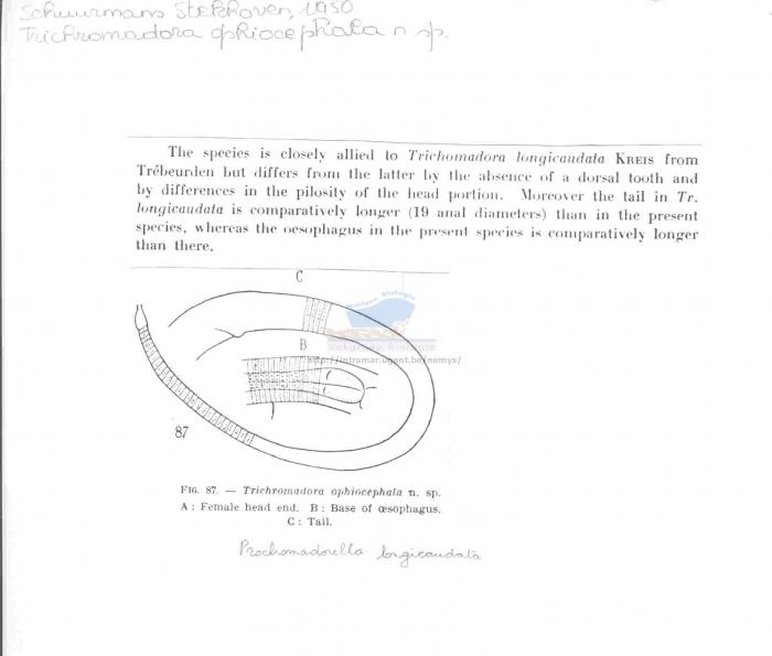 Prochromadorella longicaudata