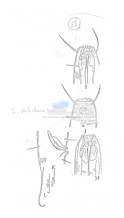 Spiliphera dolichura