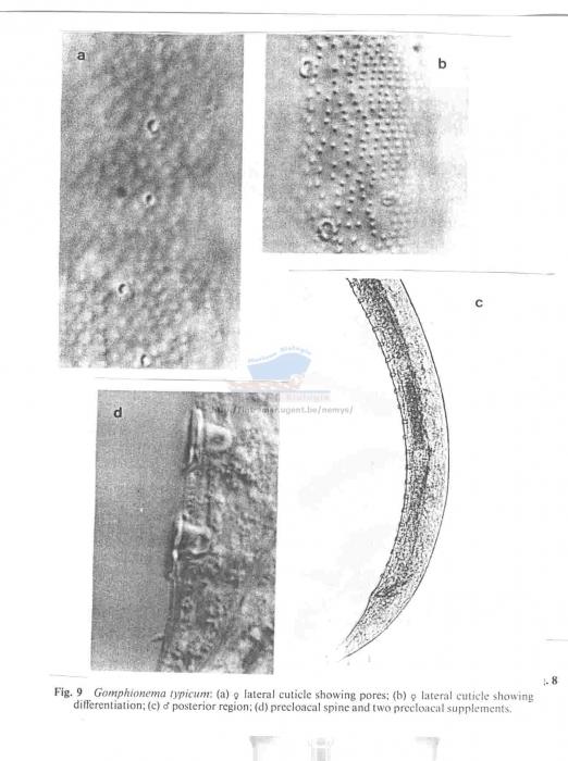 Gomphionema typicum