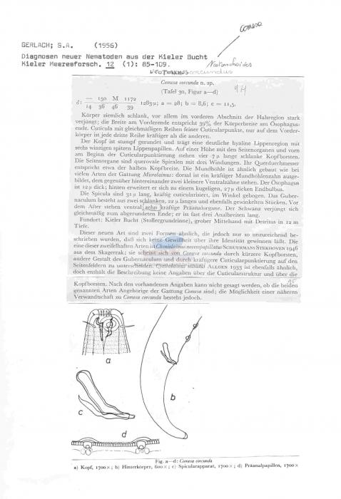 Neotonchus corcundus
