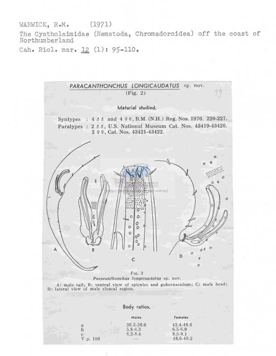 Paracanthonchus longicaudatus