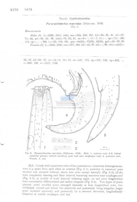 Paracanthonchus macrodon