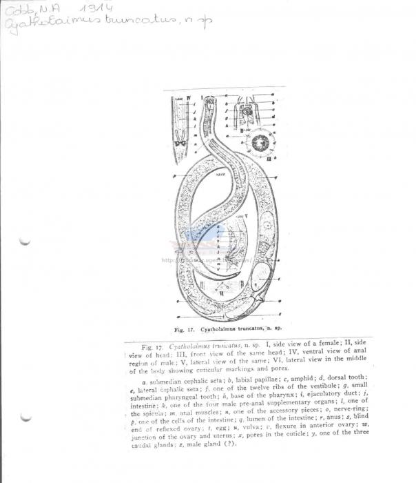 Paracyatholaimus truncatus
