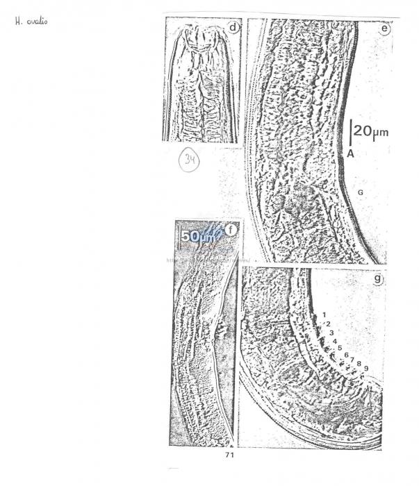 Halichoanolaimus ovalis