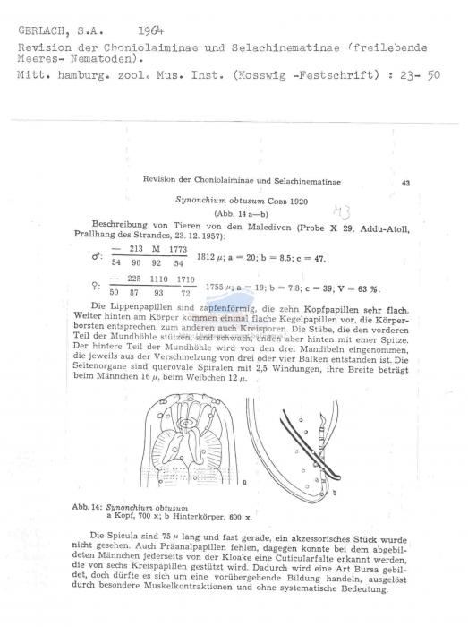 Synonchium obtusum
