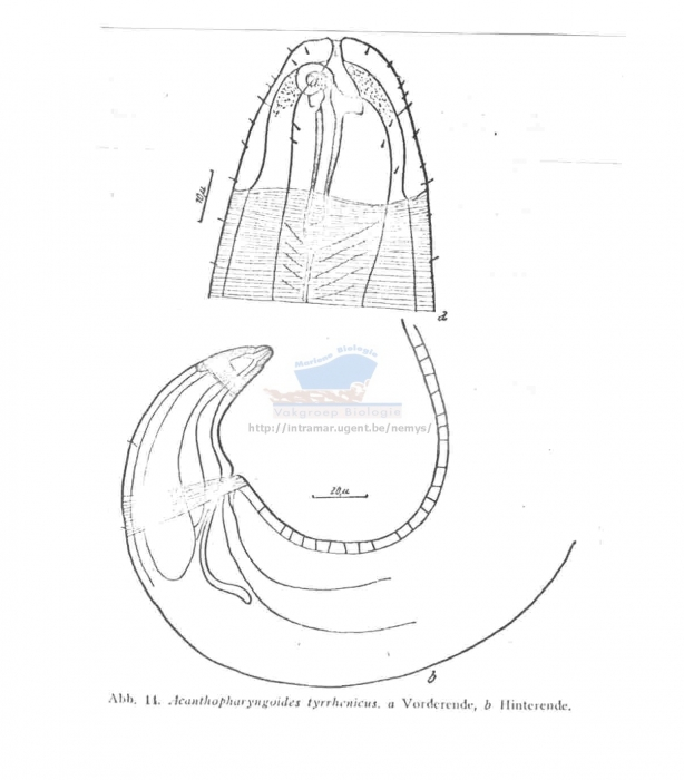 Acanthopharyngoides tyrrhenicus