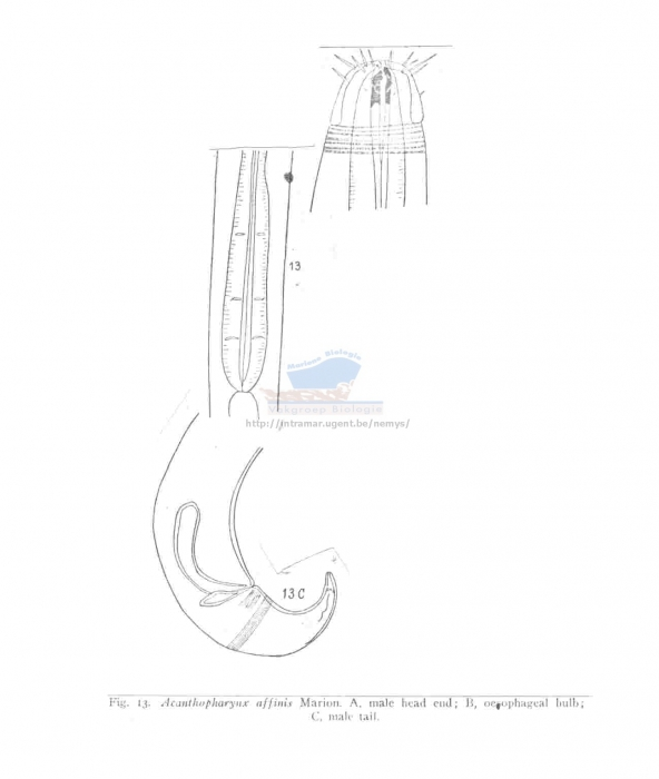 Acanthopharynx affinis