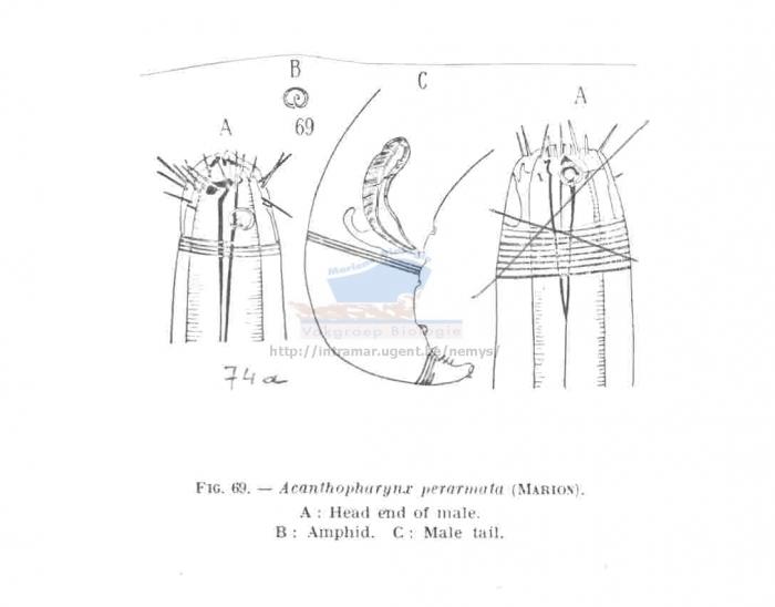 Acanthopharynx perarmata