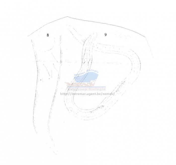 Desmodora aucklandiae