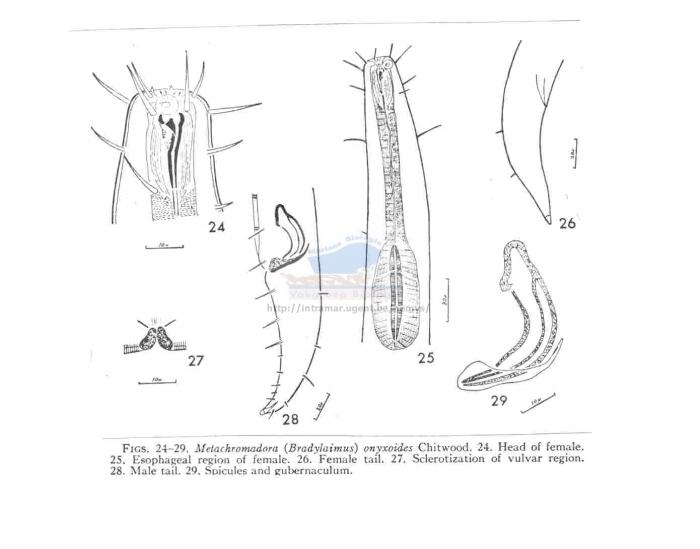 Metachromadora onyxoides