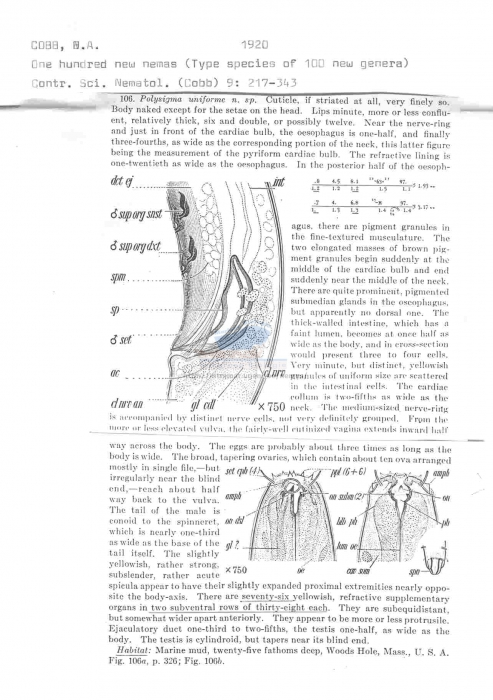 Polysigma uniforme