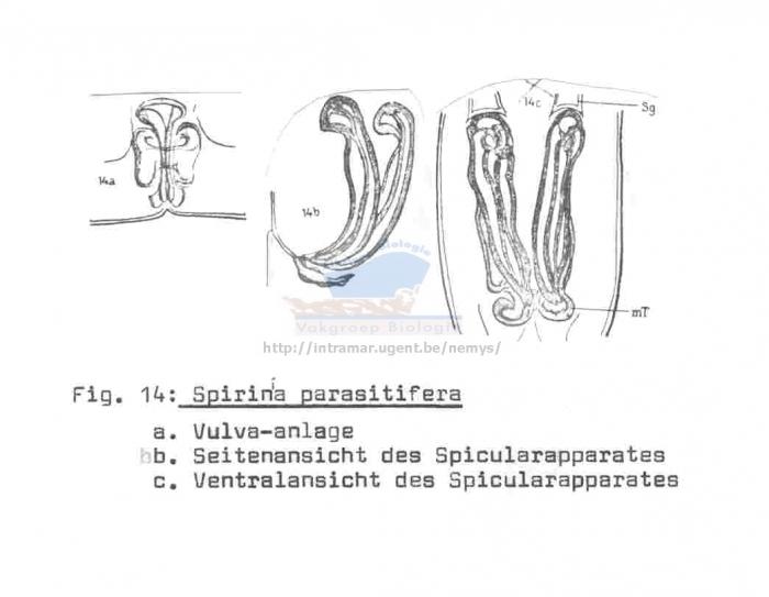 Spirinia parasitifera
