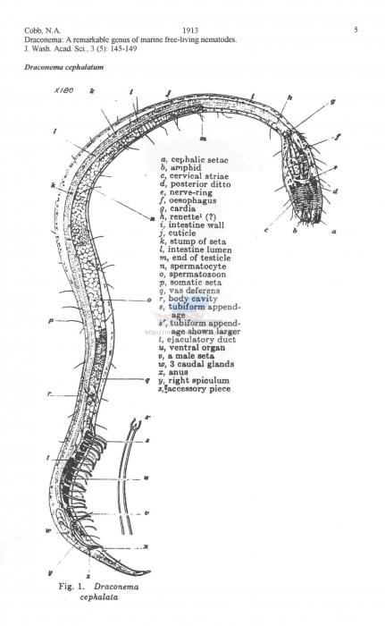 Draconema cephalatum