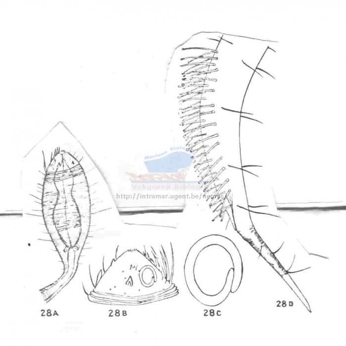 Paradraconema spinosum