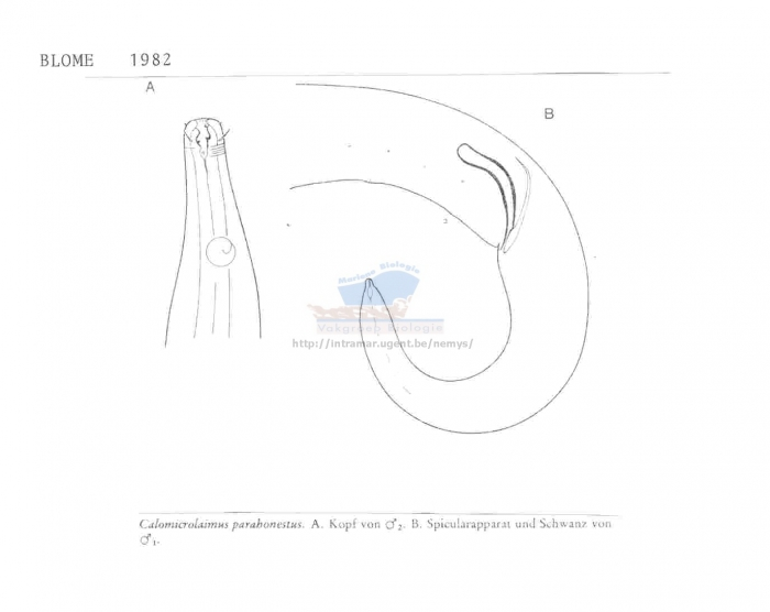 Calomicrolaimus parahonestus