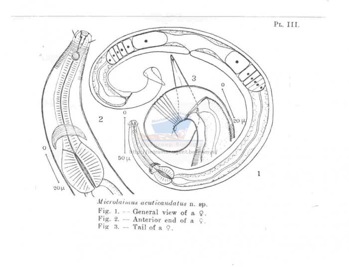 Microlaimus acuticaudatus